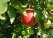 Rozmowy o sytuacji na rynku jabłek
