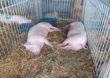 Duża niepewność na światowym rynku wieprzowiny