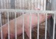 Ponowne umieszczanie świń w gospodarstwie po likwidacji ogniska ASF