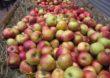 KUPS dementuje – Nie ma zmowy przedsiębiorstw przetwarzających jabłka