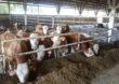 Ważne dla posiadaczy bydła – liczba DJP