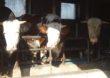 Księgi rejestracji bydła, świń, owiec lub kóz