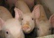 Policzyli świnie