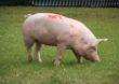 Świnie w coraz lepszej cenie