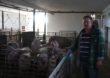 Poprawa warunków dobrostanu zwierząt w UE wiąże się ze wzrostem kosztów produkcji