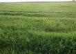 Czy rolnictwo poradzi sobie bez glifosatu?