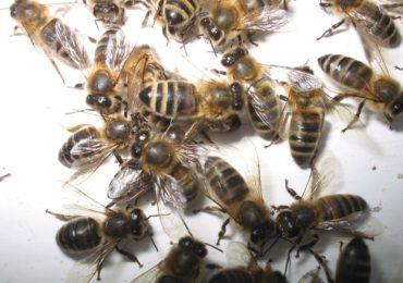 Chrońmy pszczoły!