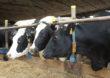 Indeks ekonomiczny wpisany do programu hodowlanego