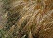 Ograniczenia w stosowaniu środków ochrony roślin zawierających chloropiryfos