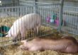 Wzrosty cen żywca wieprzowego w UE słabną