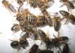 Co statystyczny Polak wie o pszczołach?