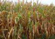 Rolnicza susza na terenie 15 województw