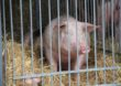 W Europie stabilizacja na rynku wieprzowiny