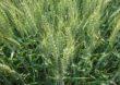 Według  szacunków GUS – Produkcja  głównych ziemiopłodów rolnych i ogrodniczych w 2019 roku
