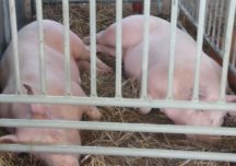 Kolejne przypadki ASF u świń