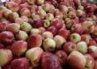 """Europejscy producenci owoców i warzyw inaugurują europejski program promocji """"CuTE: Uprawiając smak Europy"""""""