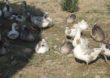 Globalne perspektywy dla mięsa gęsi i kaczek