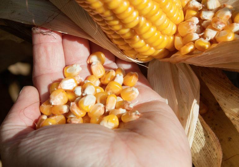 Przed zbiorem kukurydzy