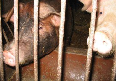 ASF może pochłonąć jedną czwartą światowego pogłowia świń
