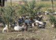 Afryka największą szansą na rozwój drobiarstwa?