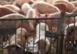 Dania zaostrzy kontrolę w zakresie dobrostanu zwierząt na fermach świń