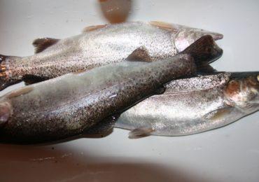 Wytyczne w postępowaniu z żywymi rybami będącymi przedmiotem sprzedaży detalicznej