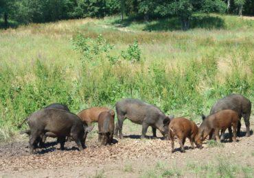 Zasady bioasekuracji w zakresie ASF w trakcie polowań na dziki