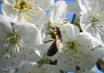 W obronie owadów zapylających