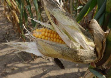 Plonowanie kukurydzy w 2019 roku
