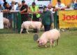 Do czasu całkowitej eradykacji wirusa ASF z kraju dopłaty za utrzymywanie świń na wybiegach nie są planowane