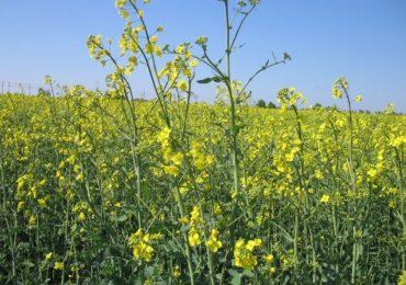 Chloropiryfos oraz chloropiryfos metylowy - wycofany przez UE
