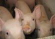 Nowa obiecująca szczepionka dla wirusów afrykańskiego pomoru świń