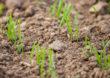 Choroby fuzaryjne w natarciu – stan zbóż ozimych jest krytyczny