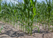 Herbicydowe nowości w kukurydzy