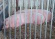 1 ognisku afrykańskiego pomoru świń (ASF) u świń w 2020 roku
