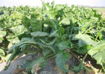 Coraz więcej upraw buraka cukrowego w Polsce