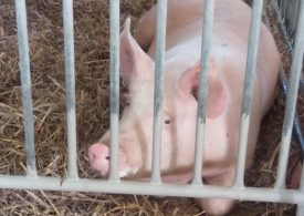 Produkcja mięsa może być jednym z kół zamachowych polskiej gospodarki po kryzysie