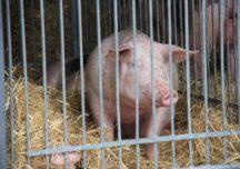Wnioskujemy o wprowadzenie dopłat wyrównawczych dla producentów świń, którzy znaleźli się w strefach niebieskich na terenie całego kraju
