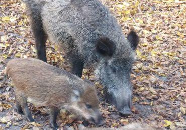 Pierwszy przypadek ASF u dzików na terenie województwa pomorskiego