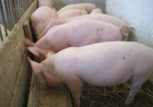 Odmrażanie gospodarki  poprawiło sytuację na europejskim rynku wieprzowiny