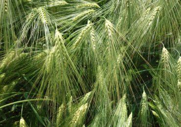 Rekordowe zbiory zbóż