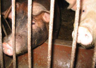 Konawirus coraz mocniej dosięga branżę wieprzowiny