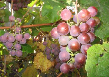 Ważne dla producentów i przedsiębiorców  wyrabiający wino